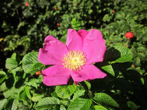 Elokuun ruusu by Anna Amnell