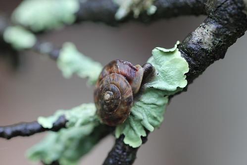 flat snail