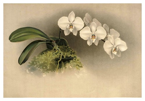 026-Phalaenopsis Casta-Reichenbachia-Orchids illustrated and described..VolI I-1888-F.Sander