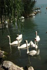 Undulating shades . (Marinyu..(*-*)) Tags: summer swan explore balaton hattyú resonance undulate balatonfüred balatonlake shases bütyköshattyú blinkagain bestofblinkwinners 119explore