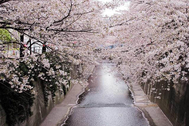 110409_161549_目黒川_桜