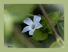 Vinca Major (Modest Minguella (On/Off)) Tags: flowers flores flors vincamajor vinc canoneos500d ef100mmmacrousm mygearandme mygearandmepremium