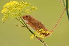 Harvest mouse [Explored] (amylewis.lincs) Tags: uk macro nature animal mammal rodent nikon britain wildlife sigma british 180mm 2011 d3000