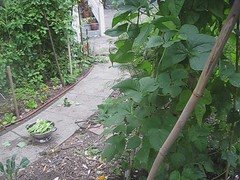 an exceedingly dramatic 11 second video of siena harvesting the last of the summer pole beans (davidsilver) Tags: garden video beans gardening siena polebeans frontyardgarden