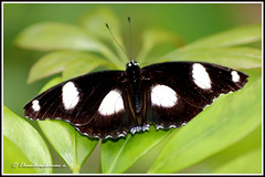 1512 bf_11636 great eggfly (chandrasekaran a 34 lakhs views Thanks to all) Tags: macro nature butterfly massachusetts insects tamron90mm eggfly canon60d