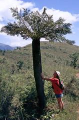 Fern Tree / Drakensberge (2005) (Proteus250245) Tags: africa natal southafrica wildlife capetown afrika sdafrika stilbaai kapstadt ferntree drakensberge thabazimbi champagnecastle mountainzebranationalpark marakelenationalpark