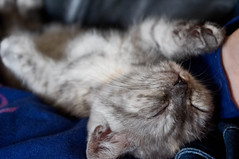 Snooze (Tim Ebbs) Tags: sleeping cats cute pepper kitten kitty fluffy paws britishshorthaired