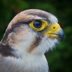 Falcon Eye (WmPitcher) Tags: summer white toronto bird birds animal animals yellow closeup square zoo flickr sony events beak subject falcons torontozoo 1x1 beaks a55 seafoodforthought