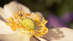 Glancing light (Pe) Tags: white flower macro yellow kramer pepijn ef100mmf28macrousm ef12ii ef25ii eos550d