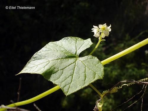 Racimo de flores de Calabacillo <i>Cisyos baderoa</i>