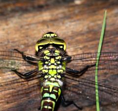 Libegrafas (serie) (Paco CT) Tags: vacation animal spain place dragonfly libelula esp lleida arties valdaran cataluna 2011 pacoct bassadoles