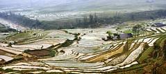 62_LAO78980085 (TC Yuen) Tags: vietnam sapa hmong terracefarming locai