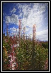 Autumn seeds (Hdr) (Chris Shanks) Tags: blue autumn sky plants colour field canon landscape scotland wildlife wide sigma midlothian penicuik 10mm christophershanks