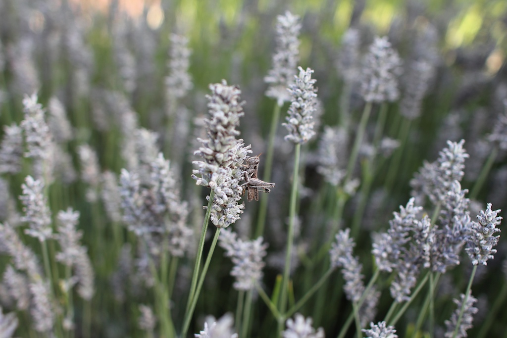 lavender and a grasshopper