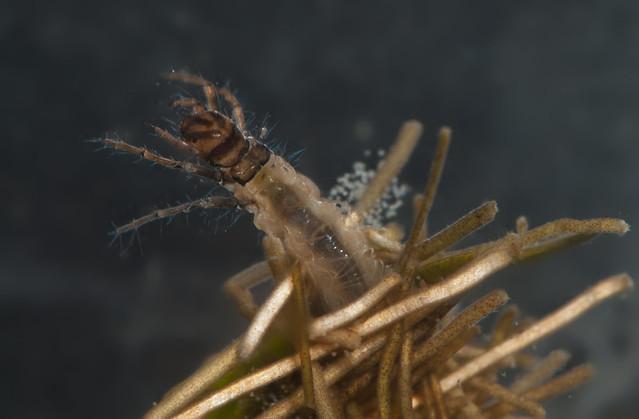 Caddisfly larva Limnephilus sp. pos rhombicus 6 eited