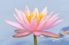 (kathleen walsh) Tags: pink pond waterlily arboretum evilmini