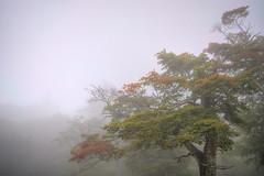 Tree in mist #2 -HDR (nipomen2) Tags: mist tree japan fog sigma karuizawa nagano hdr dp2
