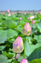 Lotus Landscape (RussianDC) Tags: flower nature lotus plant petal aquatic flora beautiful blossom pink bloom blooming summer beauty exotic floral elegance natural colorful detail calm wild romantic pattern macro environment colors serenity single botanical garden fresh closeup pretty isolated season gardening seasonal colour nelumbium nelumbo