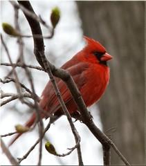 Happy Birthday (SavingMemories) Tags: ontario male bird branch cardinal songbird malecardinal savingmemories songbirdsofontario suemoffett