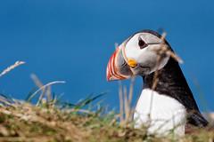 Puffin (dav) Tags: blue sky bird animal canon island iceland europe beak puffin vestmannaeyjar lundi heimaey extender kenko 2011 canonef70200mmf28lis canonef70200mmf4lisusm canon450d dav