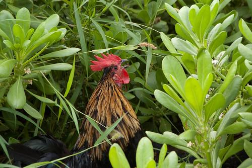 Bermudian Rooster
