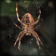 Spider hanging down (GSAndr) Tags: macro green netherlands spider leaf eyes nikon niceshot web den hague micro te haag 105mm zuiderpark boekhorst mygearandme gsandr ringexcellence blinkagain