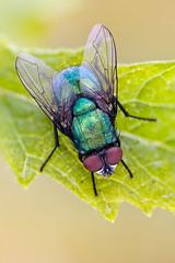 Blow Fly (johnhallmen) Tags: macro insect naturallight diptera calliphoridae canonmpe65 canon5dmkii zerenestacker