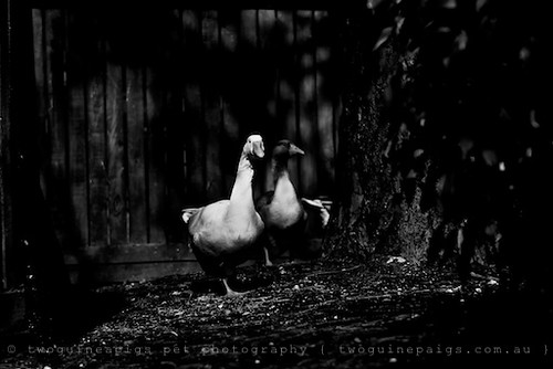 Geese by twoguineapigs pet photography | bird photography