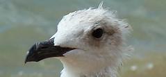 Bebe Seagull (YORGOO) Tags: vouliagmeni seagullsatastirbeach