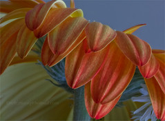 Orange side of beauty ! (©SilverDgfly) Tags: orange flores flower macro luz canon petals gerbera contraste naranja pétalos suavidad orangegerbera