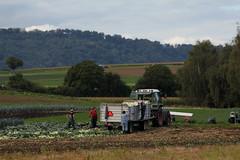 Gemüsesernte / Ernte von ...  in einem Feld im grossen Moos bei Treiten im Kanton Bern in der Schweiz (chrchr_75) Tags: hurni christoph schweiz suisse switzerland svizzera suissa swiss chrchr chrchr75 chrigu chriguhurni 1109 september 2011 hurni110914 albumgrossesmoos grosses moos niedermoorgebiet niedermoor moor gemüse gemüsekammer gemüseanbau ernte erntehelfer arbeit feld feldarbeit work harvest harvesting chriguhurnibluemailch september2011 albumzzz201109september albumgemüseanbauinderschweiz landwirtschaft vegetable growing culture de légumes orticoltura