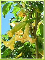 Brugmansia suaveolens (Angel's Trumpet) - hybrid with golden yellow flowers, maybe 'Inca Sun'