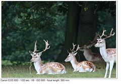 Fallow Deer (John P Norton) Tags: fauna fallowdeer f80 chatsworthhouse aperturepriority damadama 120sec ef400mmf56lusm canoneos60d focallength560mm copyright2011johnnorton