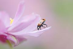 Bottoms up! (Jacky Parker Photography) Tags: uk pink flower macro nature horizontal closeup fauna garden landscape flora wildlife beetle ladybird ladybug orientation