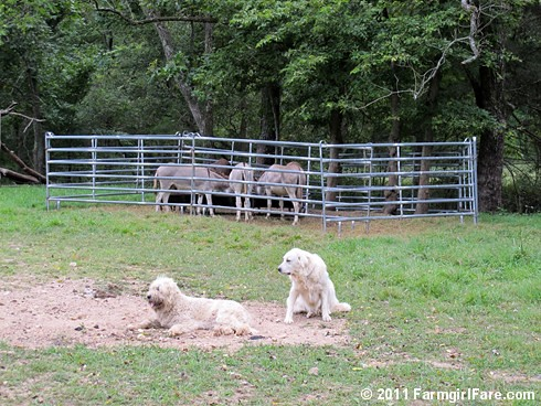Donkeyland guard dogs 1 - FarmgirlFare.com