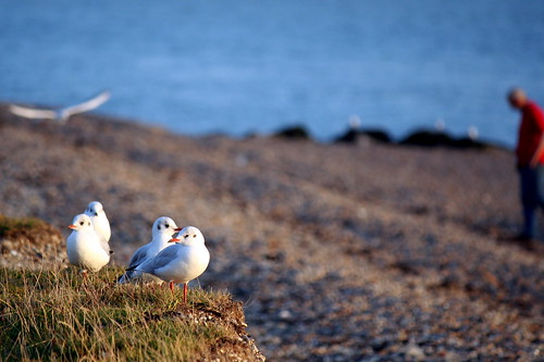 Seagulls, Lee On Solent