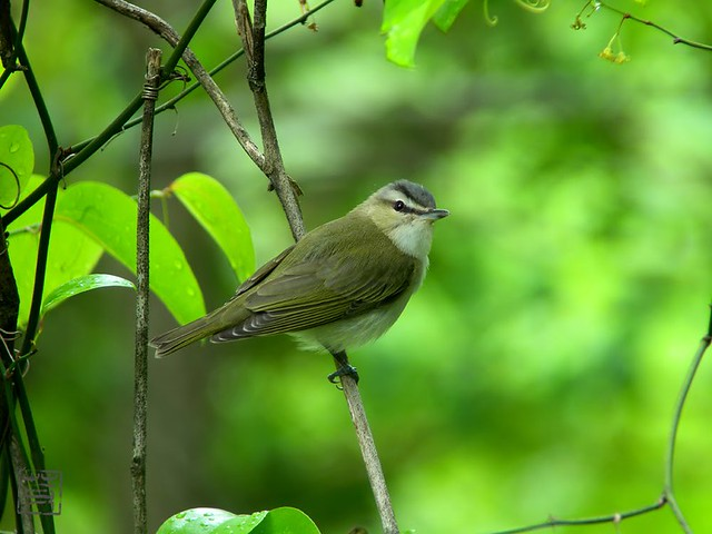 Red-eyed Vireo, Apr 2011