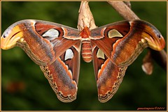 5aug11 atlasvlinder Noorderdierenpark (Attacus atlas) (guus timpers) Tags: friends atlas emmen attacus zoon noorderdierenpark dierenpark nachtvlinder vlindertuin atlasspinner httpenwikipediaorgwikiattacusatlas httpnlwikipediaorgwikiatlasvlinder paololivornosfriends paololivornos httpdewikipediaorgwikiatlasspinner