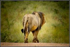 April 03, 2011-37 (HeatherBradleyPhotography) Tags: life africa park wild male jock animal animals southafrica wildlife south lion lodge safari lions wilderness krugerpark kruger 2011 krugernational jocksafarilodge jocklodge