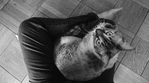 lap, cat