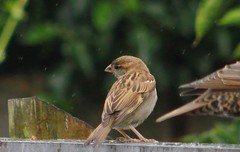 House Sparrow And Rain (aaron_eos_photography) Tags: summer cloud nature wet canon lunch afternoon cloudy overcast august sparrow birdsinflight friday sparrows housesparrow collareddove housesparrows
