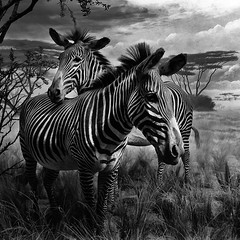 d i o r a m a (nlwirth) Tags: sanfrancisco california goldengatepark blackandwhite zebra yup diorama zebras academyofscience sugimoto hiroshisugimoto nlwirth