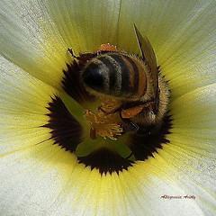 Turnera y Abeja (Altagracia Aristy) Tags: amrica dominicanrepublic bee tropic caribbean abeja honeybee antilles laromana caribe trpico antillas repblicadomincana turnera quisqueya altagraciaaristy fujifilmfinepixhs10 fujihs10 fujifinepixhs10 carabi