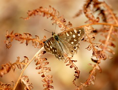 Magical! (SteveJM2009) Tags: uk summer sun colour detail leaves woodland wings focus pattern dof bokeh warmth august dorset bracken markings poole antennae basking stevemaskell speckledwood brownseaisland dwt 2011 parargeaegeria dorsetwildlifetrust