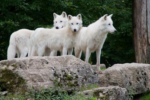 Loups by arnaudthx