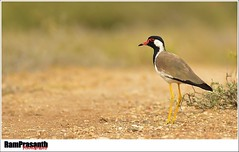 Red-wattled Lapwing (FLASH MEDIA CREATIONS) Tags: india bird birds advertising photography nikon media fashionphotography wildlife flash creative lapwing ram tamilnadu coimbatore creations designing professionalphotography foodphotography cbe productphotography fmc industrialphotography redwattled advertisingphotography ramprasanth jewelleryphotography photographycompany designinglogo blinkagain flashmediacreations productphotographyincoimbatore industrialphotographyincoimbatore professionalphotographysolutions photographyprintinglogo coimbatoreweb ramprasanthphotography