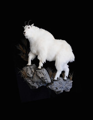 "Mountain Goat Taxidermy • <a style=""font-size:0.8em;"" href=""http://www.flickr.com/photos/27376150@N03/6059846677/"" target=""_blank"">View on Flickr</a>"