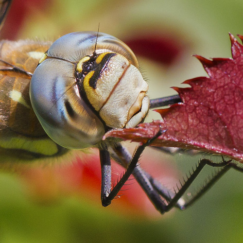 Face close up of Migrant Hawker (male) Dragonfly (Aeshna mixta)