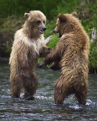 The Stand-Off:  Cub Style (MommaD photos) Tags: wild playing nature animals june alaska river outside outdoors nikon natural wildlife bears cubs rough grizzly kenaipeninsula habitat mammals growingup russianriver standoff grizzlies standingup grizzlybears brownbears 2011 bearcubs coth5 brownbearcubs tnwaphotography yearlingcubs