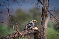 Eastern Yellow-billed Hornbill (Tockus flavirostris) (Radu Zaciu - 1.5 Million Views. Thank You!) Tags: kenya samburu easternyellowbilledhornbill tockusflavirostris potd:country=ro